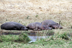 Hippopotames fatigués Photos stock