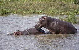 Hippopotames joignant dans le Nil Photographie stock libre de droits