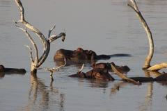 Hippopotames se reposant environ dans l'eau Photos libres de droits