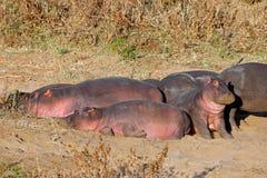 Hippopotames se reposant sur la terre Image libre de droits