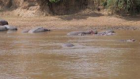 Hippopotames se reposant sur le rivage, le bain et la Dive Under Water In The Mara River banque de vidéos