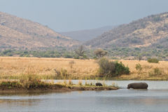 Hippopotames sud-africains Images stock