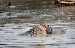 hippopotami敌手 库存图片