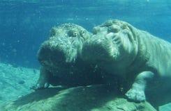 2 Hippopotami (бегемот Amphibius) купая в waterhole Стоковое Изображение