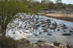 Hippopotami im Pool Stockfotos