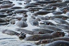 Hippopotami im Pool Lizenzfreie Stockbilder