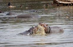 Hippopotami - Rivalen. Stockbilder