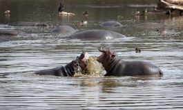 Hippopotami - Rivalen. Stockfoto