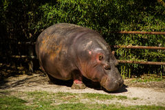 Hippopotamous eating royalty free stock photography