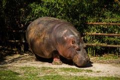 Hippopotamous Essen Lizenzfreie Stockfotografie