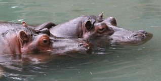 hippopotamus δύο Στοκ Εικόνες