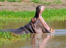Hippopotamus, εθνικό πάρκο Kruger, Νότια Αφρική Στοκ Εικόνες