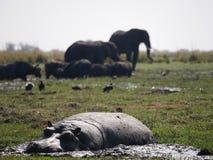 Hippopotamus και ελέφαντας στο εθνικό πάρκο Chobe Στοκ εικόνα με δικαίωμα ελεύθερης χρήσης