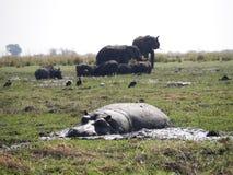 Hippopotamus και ελέφαντας στο εθνικό πάρκο Chobe Στοκ Εικόνες