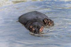 Hippopotamus και μόσχος που κολυμπούν στον ποταμό σε Serengeti εθνικό PA στοκ εικόνες