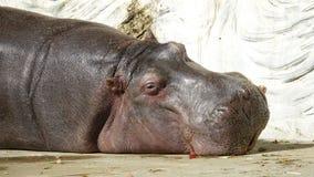 Hippopotamus μετακίνησης με μπουλντόζα στοκ εικόνες