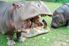 Hippopotamus με το ανοικτό στόμα Στοκ εικόνες με δικαίωμα ελεύθερης χρήσης