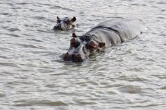 hippopotamus μόσχων Στοκ Εικόνες