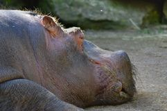 Hippopotamus που βλέπει από στενό επάνω Στοκ εικόνες με δικαίωμα ελεύθερης χρήσης