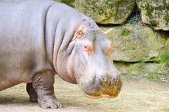 Hippopotamus που βλέπει από στενό επάνω Στοκ εικόνα με δικαίωμα ελεύθερης χρήσης