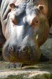 Hippopotamus που βλέπει από στενό επάνω Στοκ Φωτογραφία