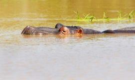 Hippopotamus που καταδύεται, εθνικό πάρκο Kruger Στοκ Φωτογραφίες