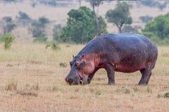 Hippopotamus που τρώει, ξημερώματα Στοκ Εικόνες