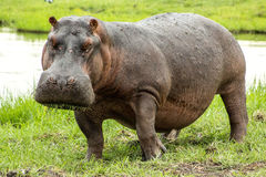 Hippopotamus σίτισης Στοκ φωτογραφία με δικαίωμα ελεύθερης χρήσης