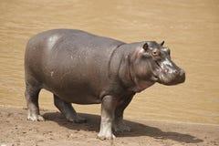 Hippopotamus Στοκ Φωτογραφίες