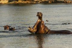 Hippopotamus στον ποταμό Okavango, Ναμίμπια Στοκ φωτογραφία με δικαίωμα ελεύθερης χρήσης