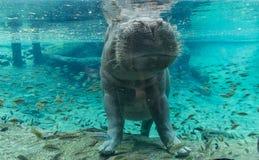 Hippopotamus στους κήπους Tampa Bay Busch Φλώριδα στοκ εικόνα