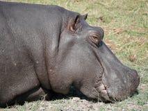 Hippopotamus στο εθνικό πάρκο Chobe Στοκ φωτογραφία με δικαίωμα ελεύθερης χρήσης