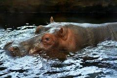 Hippopotamus στο νερό Στοκ Εικόνα