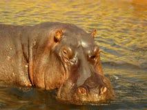 Νότια αφρικανικά ζώα Στοκ Φωτογραφία