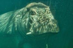 hippopotamus υποβρύχιο Στοκ Φωτογραφίες