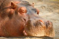 Hippopotamus ύπνου στο ΖΩΟΛΟΓΙΚΟ ΚΉΠΟ του Κάλγκαρι, Καναδάς Στοκ φωτογραφίες με δικαίωμα ελεύθερης χρήσης