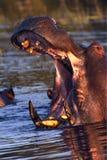 hippopotamus Африки Ботсваны стоковые фотографии rf
