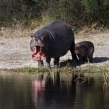 hippopotamus Ботсваны стоковое фото