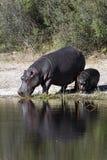 hippopotamus Ботсваны Стоковые Изображения
