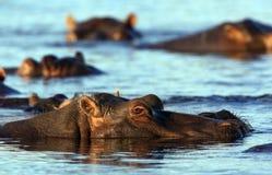hippopotamus Ботсваны Стоковые Фотографии RF