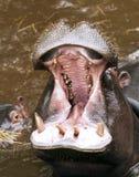 Hippopotamus гиппопотама и a младенца Стоковые Изображения