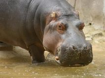 Hippopotamus. Up close Royalty Free Stock Images