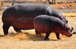 Hippopotamus Stock Image