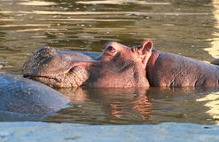 Hippopotamus. Head of hippopotamus partially submerged in water stock photos