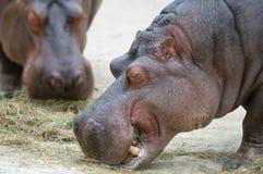 Hippopotamus Royalty Free Stock Images
