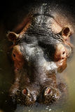Hippopotamus. Hipopotamo captive in a zoo in Spain stock image