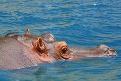 Hippopotamus. Hippo sitting in the water Stock Photo