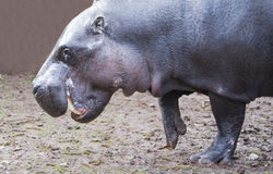Hippopotamus. Standing with one foot raised Royalty Free Stock Photos
