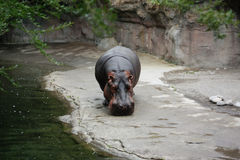 Hippopotamus Photo stock