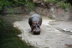 Hippopotamus Foto de archivo